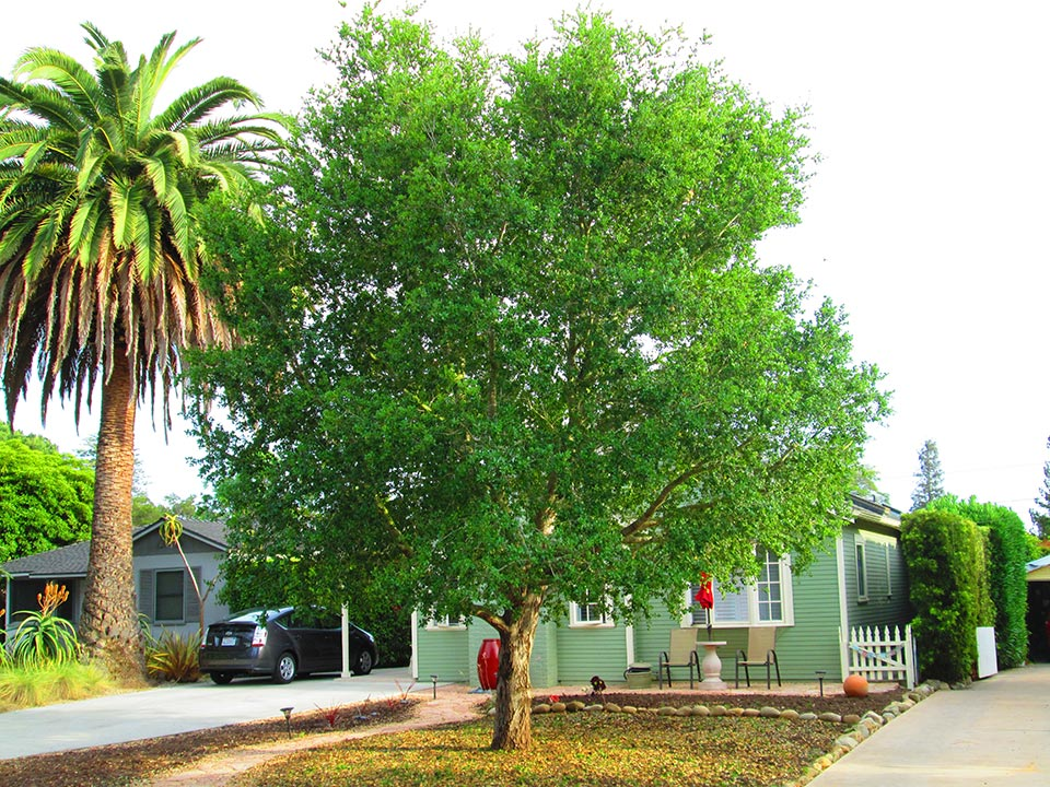 Rick-Rudnick-Artistree-Santa-Barbara-San-Luis-Obispo-Ventura-Arborist-after-pruning-02