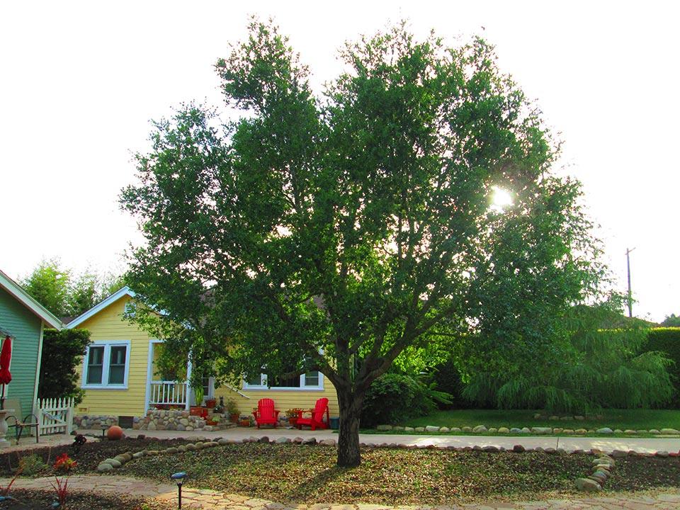 Rick-Rudnick-Artistree-Santa-Barbara-San-Luis-Obispo-Ventura-Arborist-after-pruning-03