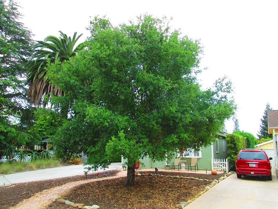 Rick-Rudnick-Artistree-Santa-Barbara-San-Luis-Obispo-Ventura-Arborist-before-pruning-02