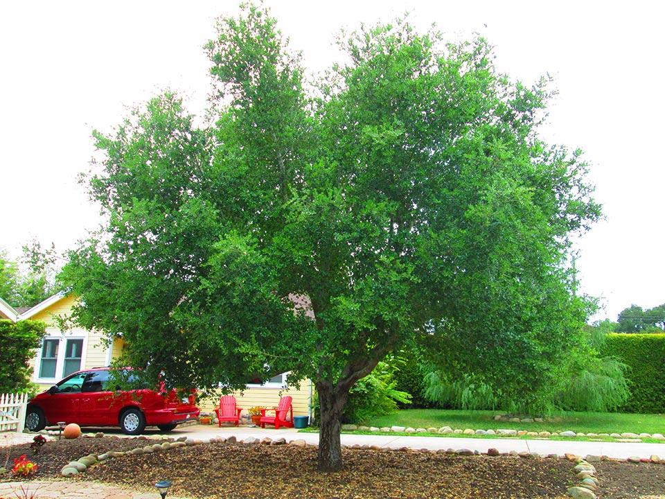 Rick-Rudnick-Artistree-Santa-Barbara-San-Luis-Obispo-Ventura-Arborist-before-pruning-03