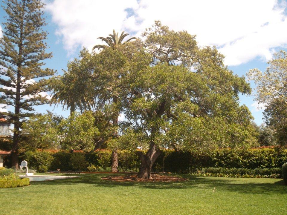 Rick-Rudnick-Artistree-Santa-Barbara-San-Luis-Obispo-Ventura-Arborist-before-pruning-04